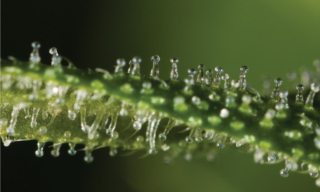 'Sample preparation of cannabis plants for efficient extraction - Utilizing the Universal Cutting Mill' image